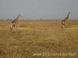 Como son las jirafas en un safari de Tanzania